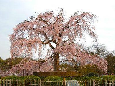 祇園・八坂神社・円山公園しだれ桜*ツアー履歴の為、予約はできません。
