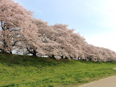 名古屋〜京都:背割堤の桜と石清水八幡宮*ツアー履歴の為、予約はできません。